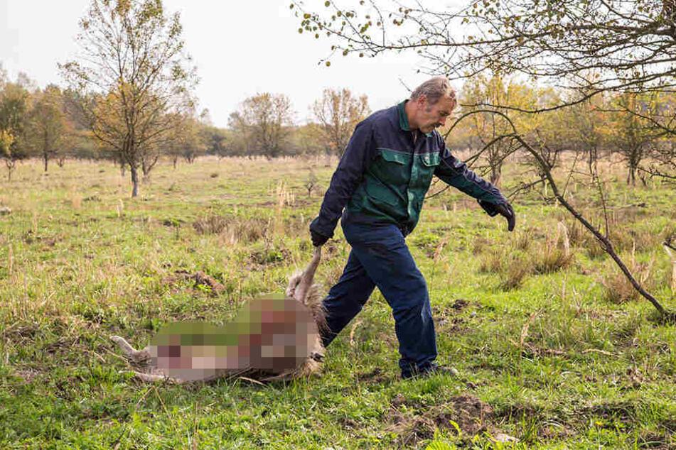In diesem Jahr gab es 82 Wolfsangriffe auf Nutztiere. Dabei wurden 344 Tiere verletzt oder getötet.
