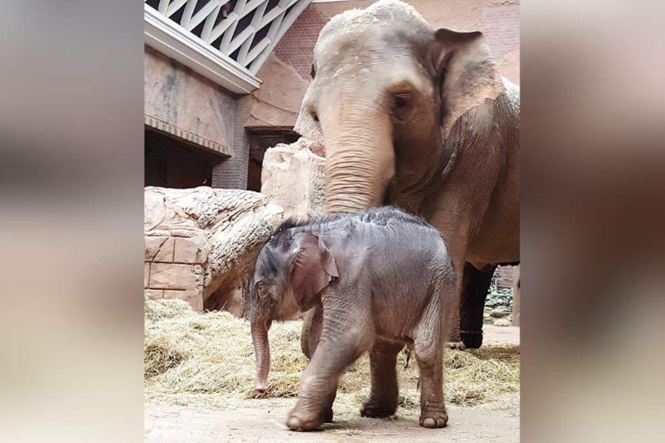 Die Pfleger im Elefantenhaus stehen unter besonderer Anspannung. Eine falsche Bewegung von Mutter Hoa könnte die monatelangen Bemühungen in Bruchteilen einer Sekunde zunichte machen.