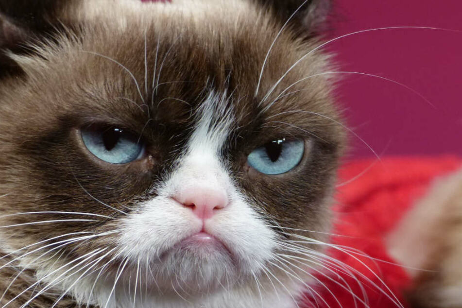 Tardar Sauce alias Grumpy Cat, die missmutige Katze.