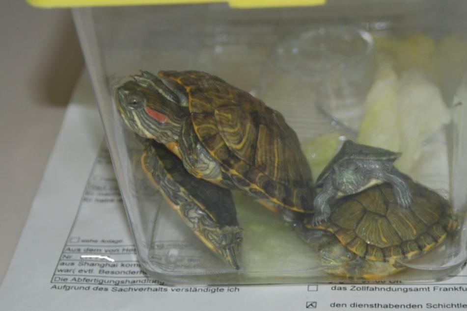 Diese drei kleinen Landschildkröten wurden im Handgepäck eines Reisenden gefunden.