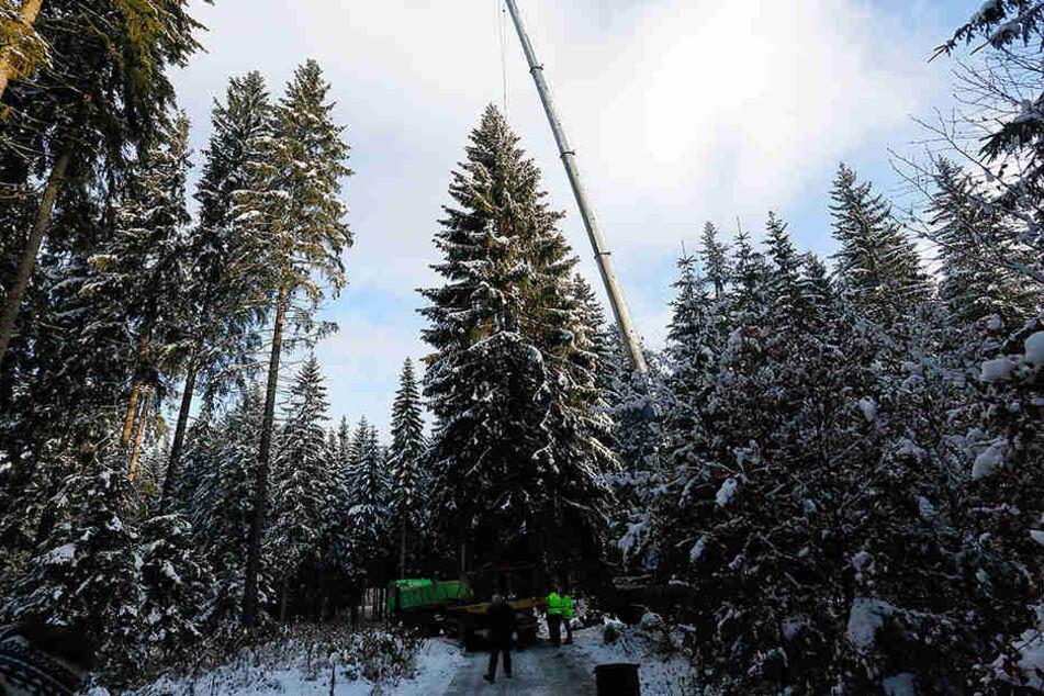 Sägen im Schnee: Am Samstagmorgen fällten Sachsenforst-Mitarbeiter im Revier Schöneck die Chemnitzer Fest-Fichte.