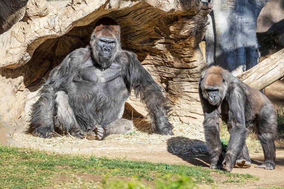 Mehrere Gorillas im San Diego Zoo Safari Park wurden positiv auf das Coronavirus getestet, was vermutlich der erste bekannte Fall unter diesen Primaten in den Vereinigten Staaten und möglicherweise der Welt ist.
