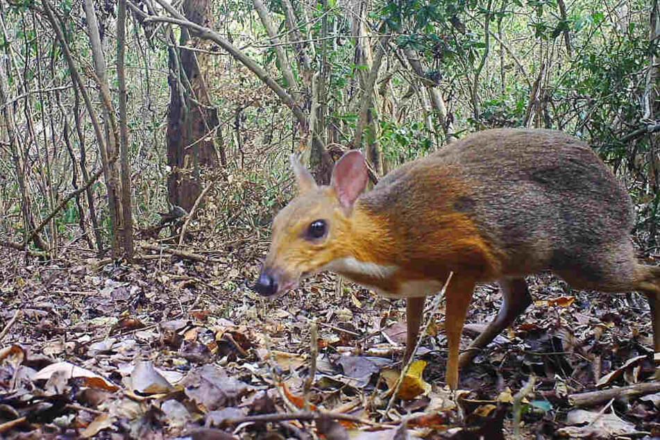 Fast 30 Jahre verschollen: Seltenes Tier tappt Forschern in Fotofalle