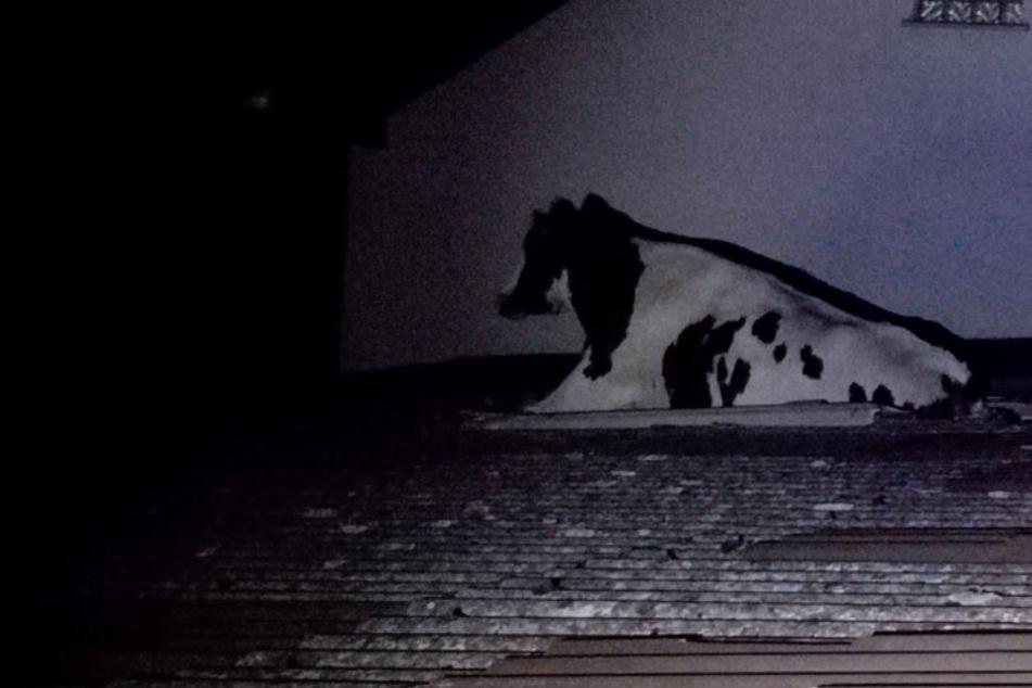Im Dunkeln war die Kuh auf das Dach gelangt und hier eingebrochen. Mit den Beinen steckte es fest.