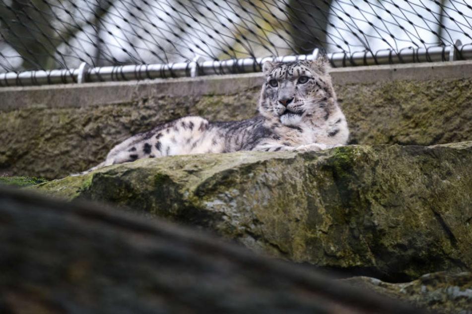 Der Schneeeopard lebt eigentlich im zentralasiatischen Gebirge. Kälte ist er gewohnt.