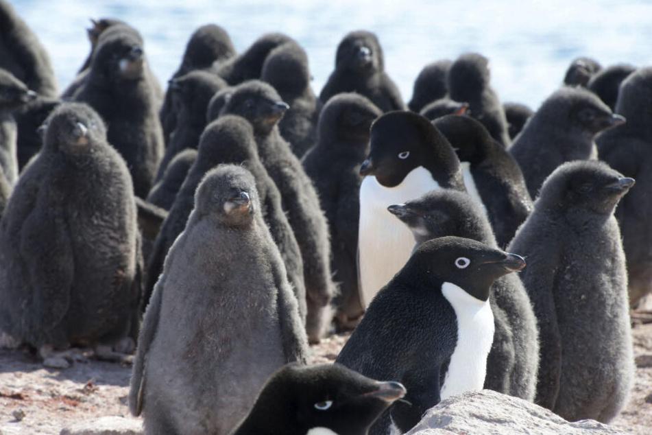 Pinguine sind die berühmtesten Bewohner der Antarktis.