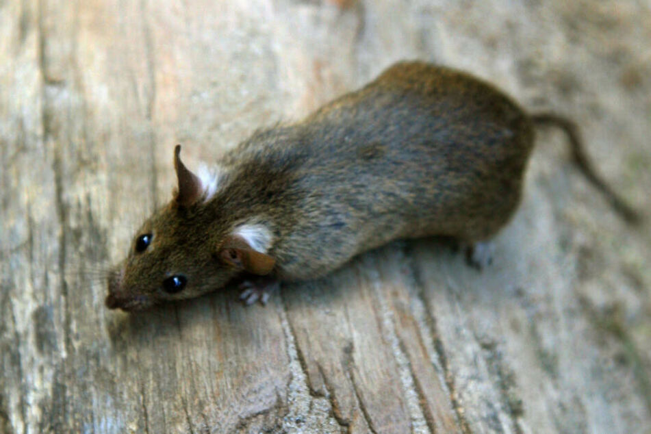 Eine Ratte hatte dafür gesorgt, dass der Mann plötzlich auf dem Dach stand. (Symbolbild)