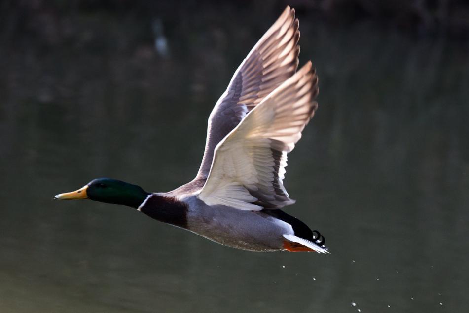Bei einer Ente in Hamburg wurde das Vogelgrippe-Virus H5N8 nachgewiesen. (Symbolbild)