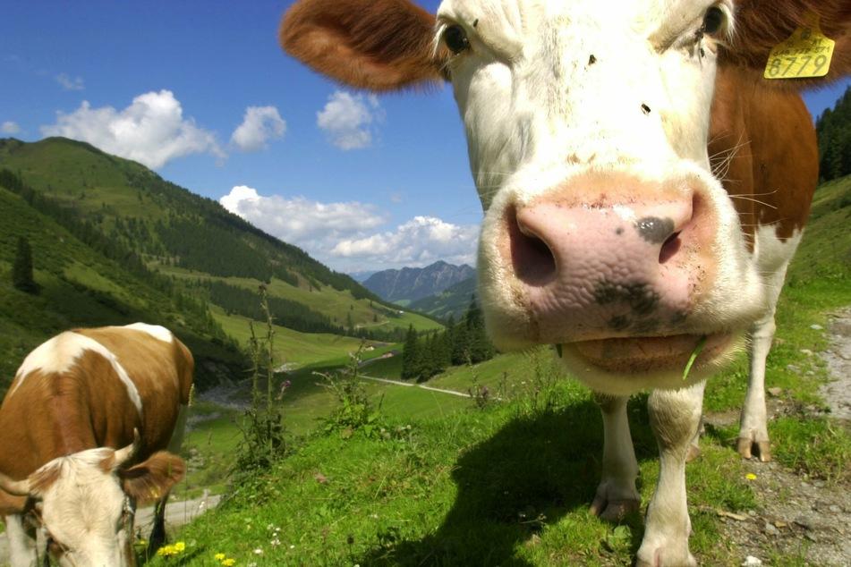 Eine Kuh auf einer Alm in Tirol. Ländliche Regionen von Österreich werden weiterhin von vielen Touristen besucht, Städte dagegen deutlich weniger als noch im Vorjahr. (Archivbild)