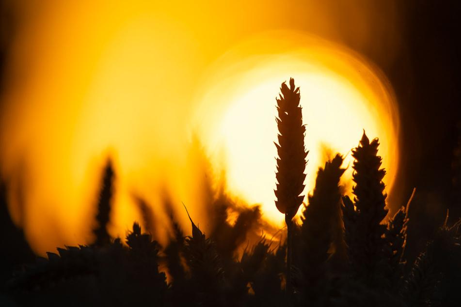 Keine Chance zu wachsen: Klimawandel macht neue Nutzpflanzen-Sorten notwendig