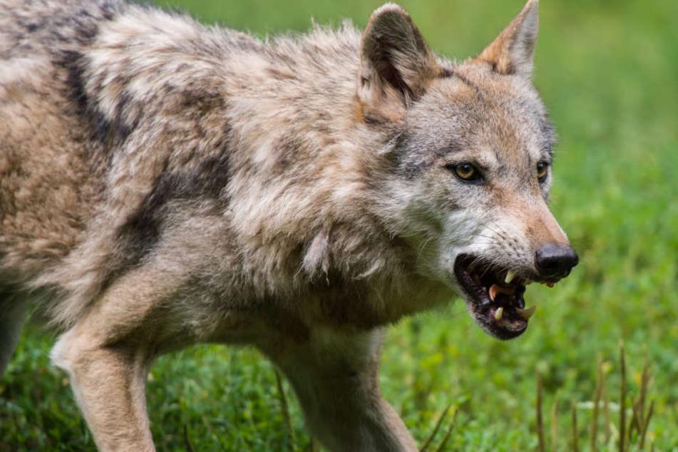 Die Tötung von Schafen durch Wölfe sorgt für Unruhe. Betroffene Schäfer haben  aber Anspruch auf Entschädigung.