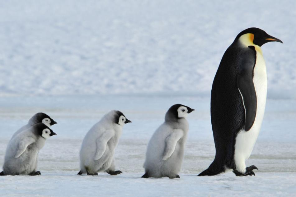 Forscher entdecken Fossilien eines Riesen-Pinguins