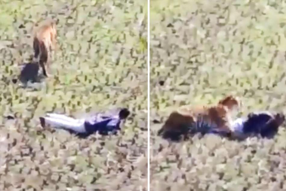 Der Mann wurde von einem Tiger überrannt und legte sich deshalb auf den Boden.