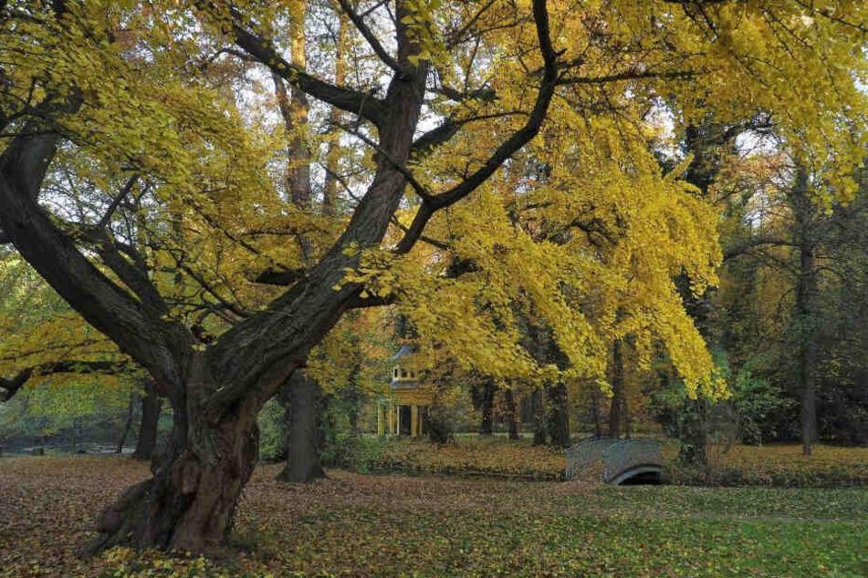 Dieser Ginkgo im Schlosspark Jahnishausen wurde schon zum Nationalerbe erklärt.