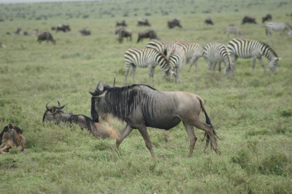 Gnus sind eine Gattung der afrikanischen Antilope (Symbolbild)