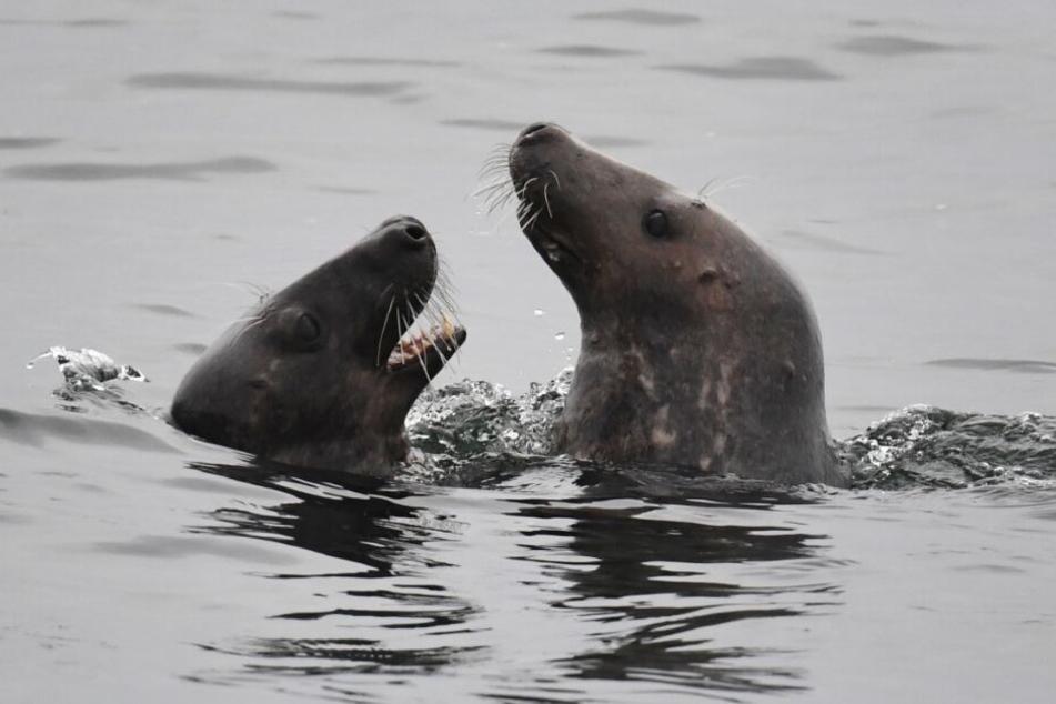 Zwei Kegelrobben schwimmen über der Sandbank.