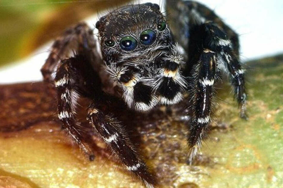 """Die Spinne mit dem Namen """"Jotus karllagerfeldi"""" ist in Australien beheimatet."""