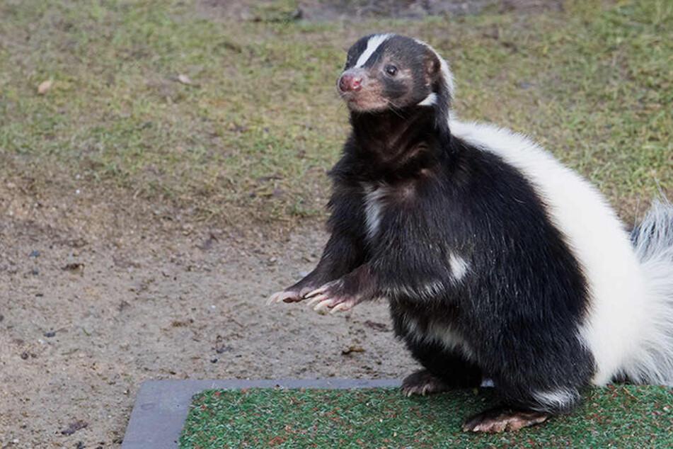 Das Stinktier-Pärchen hatte gegen die drei Waschbären keine Chance. (Symbolbild)