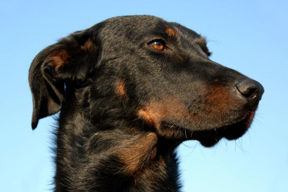 Der Polizei blieb nach eigenen Angaben nichts anderes übrig, als den entlaufenden Hund zu töten. (Sybolbild)