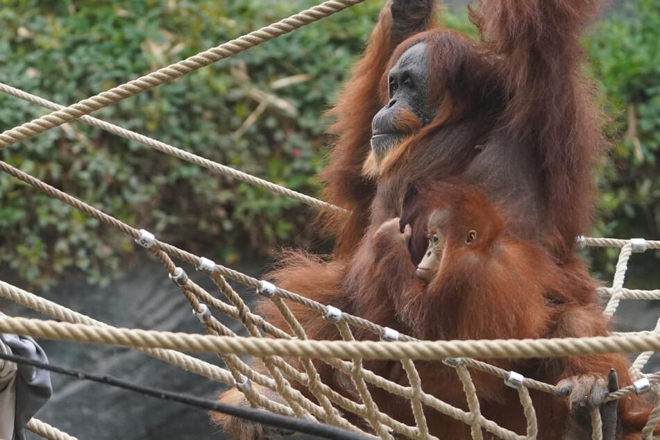 Herzergreifend! Ältester Orang-Utan der Welt zieht mutterloses Affenbaby auf