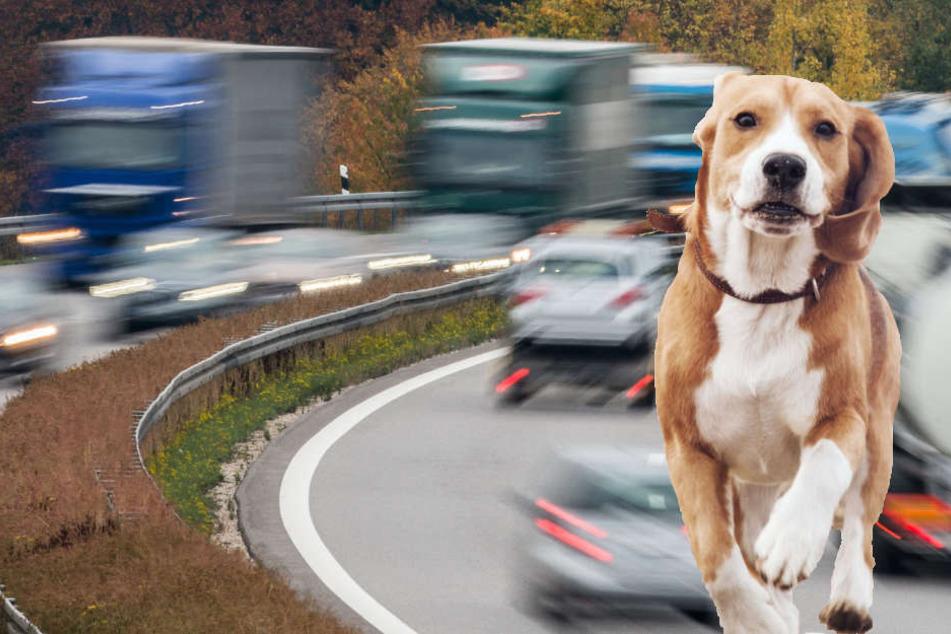 Sein Jagdtrieb wurde einem Hund an der Autobahn zum Verhängnis.
