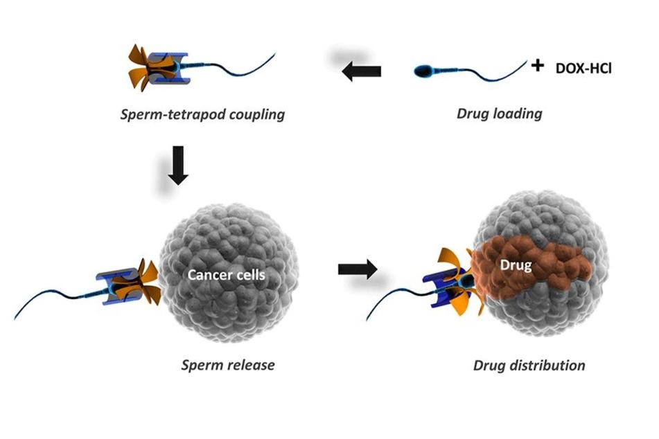 Diese Skizze zeigt, wie der Krebsmittel-Transport mit Sperma funktioniert.