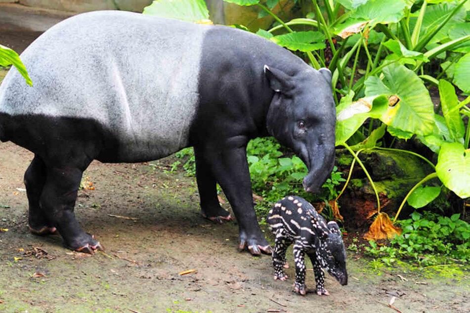 Tapir-Junges macht erste Schritte im Zoo, aber wie soll es heißen?
