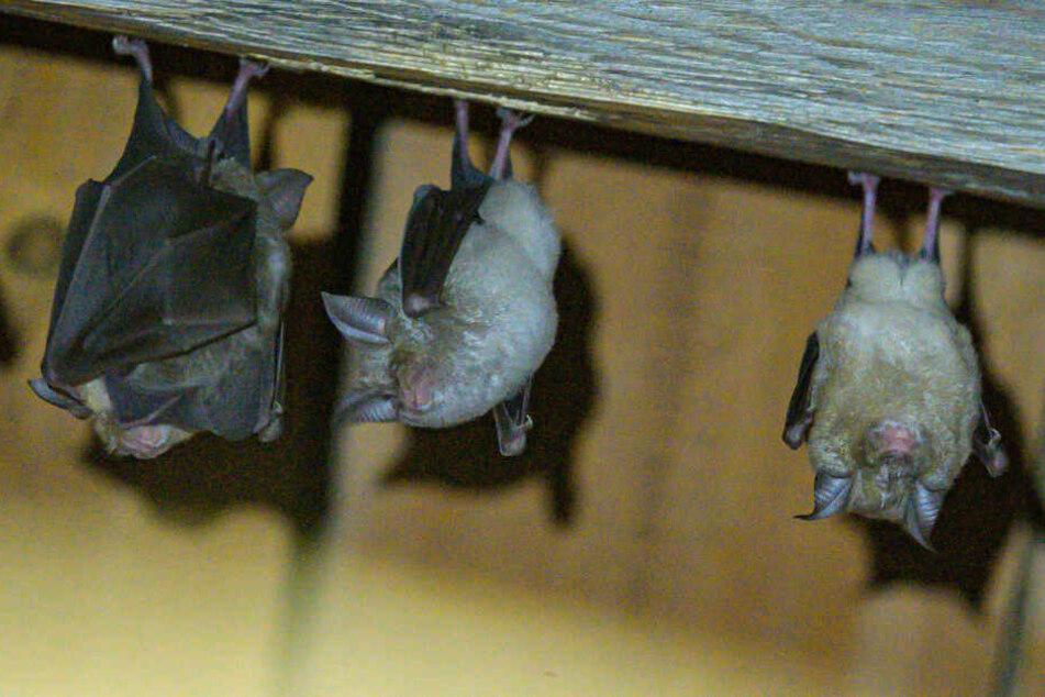 Hufeisennasen-Fledermäuse hängen an der Decke in einem Stadel am Fledermaushaus in Hohenburg.