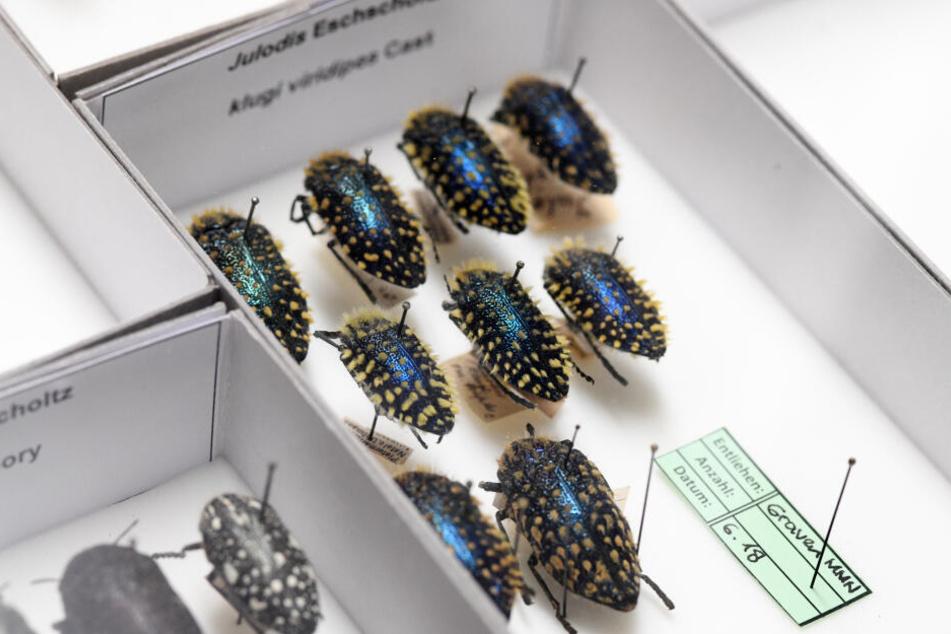 Präparierte behaarte Prachtkäfer, die mit einer Nadel aufgespießt sind, stecken in einem Insektenkasten der Zoologischen Staatssammlung in München.