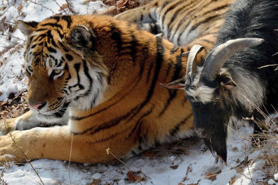 Ziemlich beste Freunde: Amur (l.) und Timur.