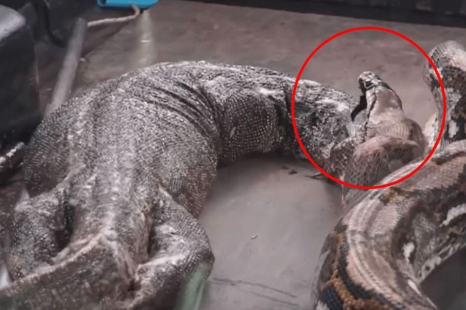 Gigantischer Python würgt über ein Meter große Echse aus
