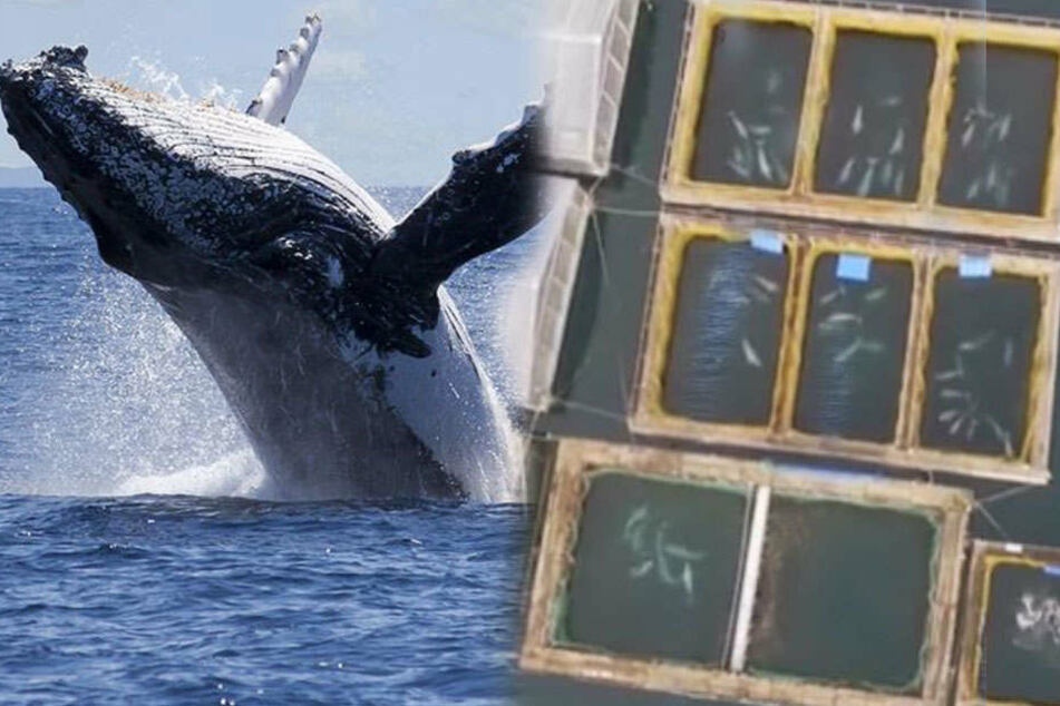 Über 100 Wale im Gefängnis eingesperrt: Der Grund ist einfach nur grausam