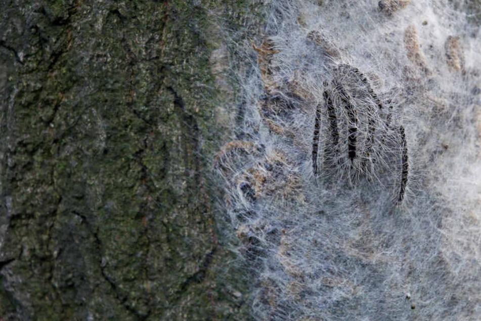 Die giftigen Krabbeltiere spinnen sich in ihren Nestern regelrecht ein.