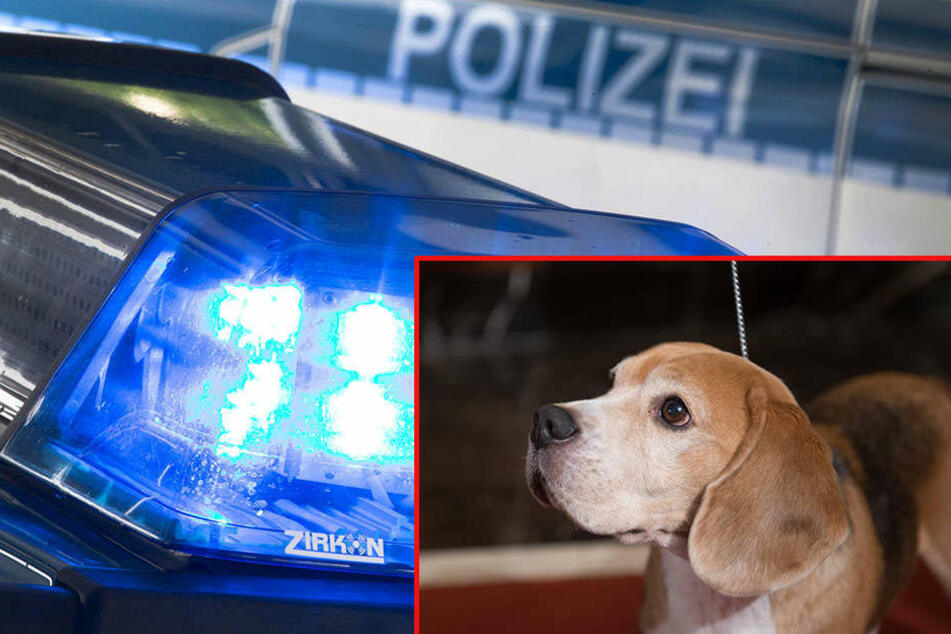 Bei dem Hund vom Zeugen könnte es sich um einen Beagle gehandelt haben. (Symbolbild)
