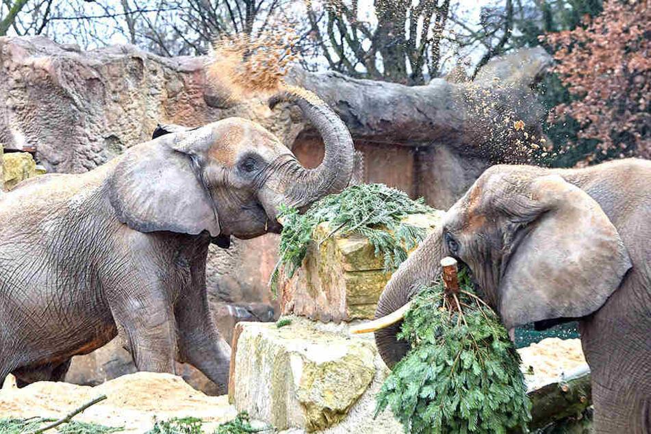 Lecker! Elefanten durften Baum futtern