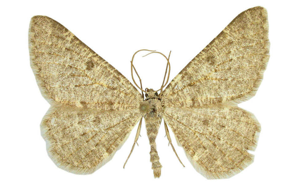 """""""Hilmar Steinspanner"""" heißt die neue Schmetterlingsart."""