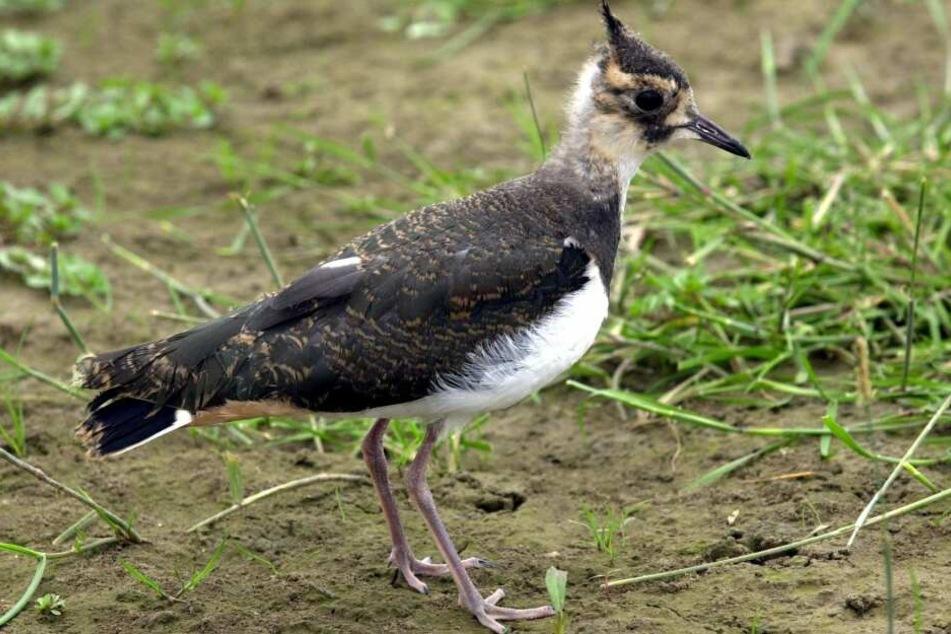 Und auch der Kiebitz steht auf der Roten Liste des Bundesamts für Naturschutz (BfN).