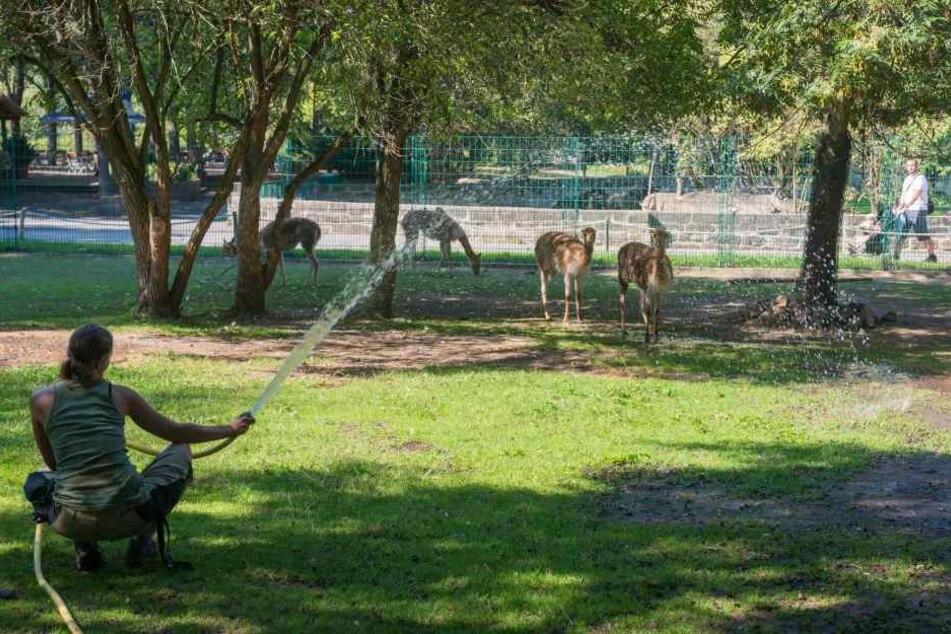 Bei dieser Hitze schwitzen auch die Vikunjas. Sie bekommen eine Extra-Dusche  im Zoo.