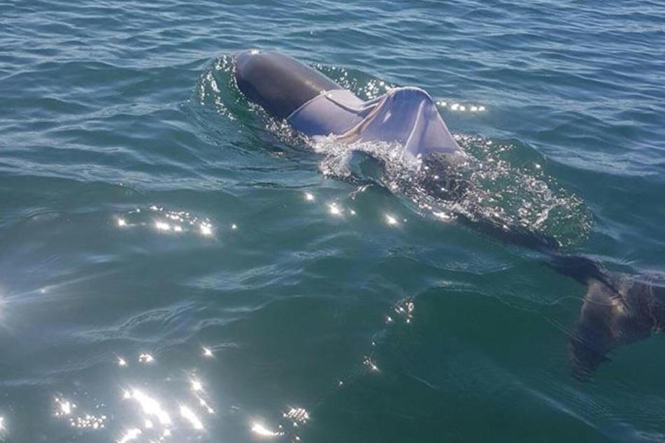 Vor der Westküste Australiens wurde ein Delfin gesichtet, der in einem T-Shirt gefangen ist.