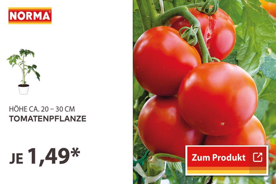 Tomatenpflanze für 1,49 Euro