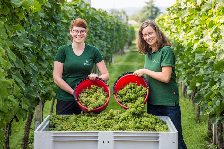 Arbeiterinnen im Weinberg des Herrn: Die Winzerinnen Ira Marie Hausdorf (20) und Josefine Büttner (25, v.l.) füllen die Bütten mit Reben im Akkord.