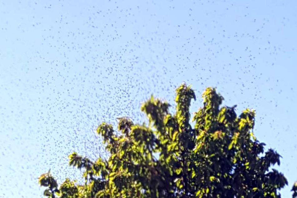 Schon von weitem konnte man den riesigen Bienenschwarm über dem Baum sehen und hören.