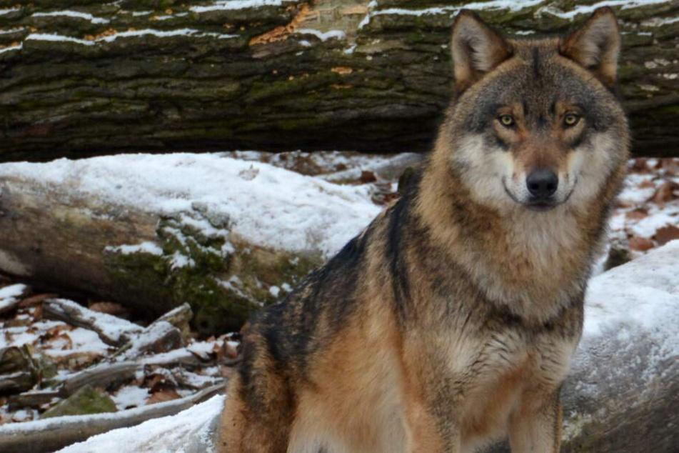 Entlaufener Wolf gesichtet! Was passiert jetzt?