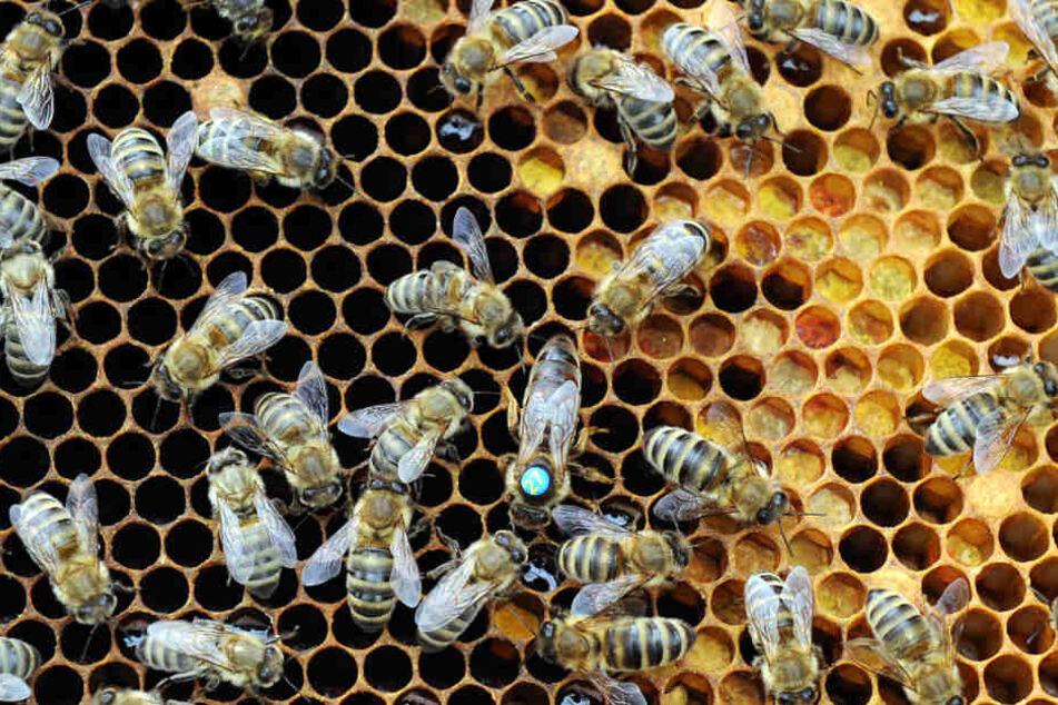 Die Amerikanische Faulbrut befällt die Bienenbrut und tötet sie.