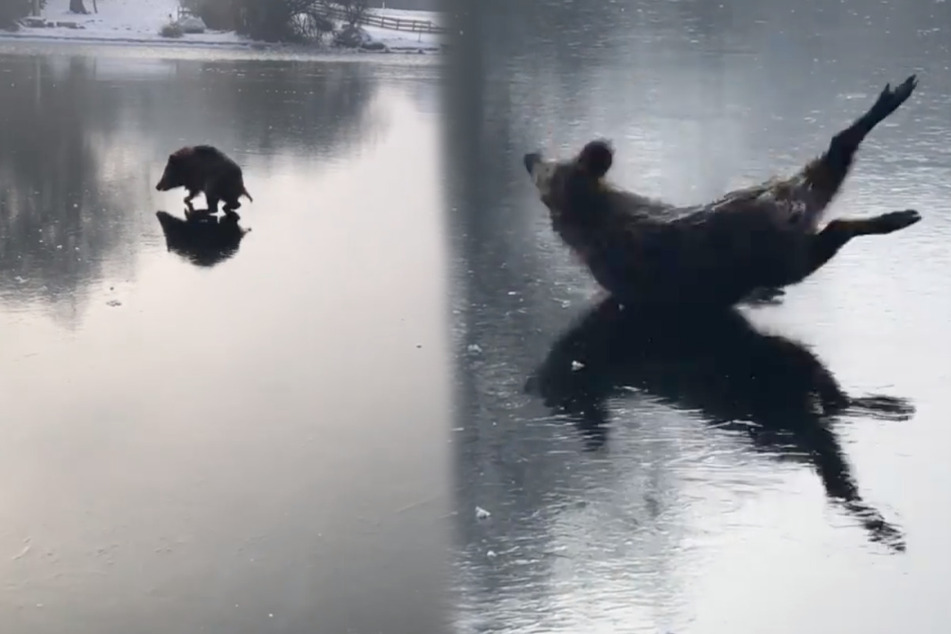 Wildschwein verzweifelt auf dem Eis: Dann kommt die Rettung auf Kufen