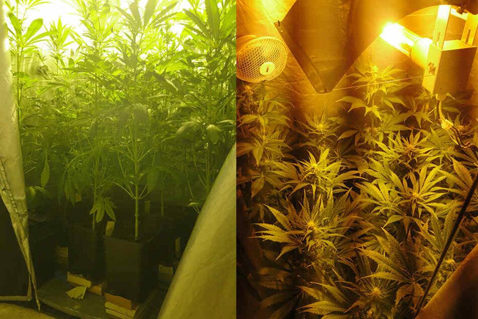 Insgesamt 14 Cannabis-Pflanzen hatte der Mann in der Wohnung.