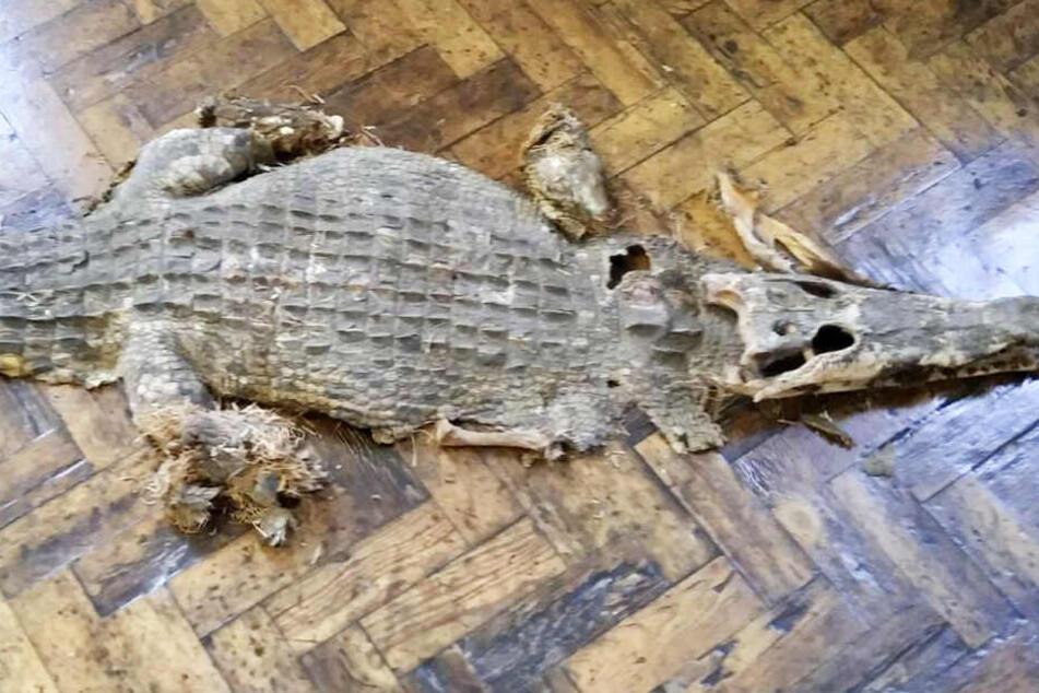 Das Krokodil wurde unter den Holzdielen gefunden.