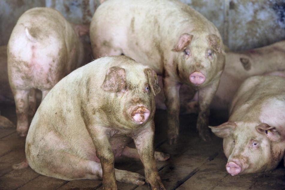 Die ausgehungerten Schweine stürzten sich auf die 56-Jährige. (Symbolbild)