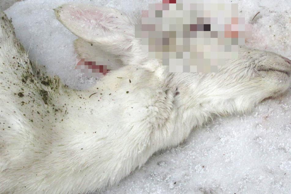Das weiße Reh hatte bei dem folgenschweren Unfall keine Überlebenschance.