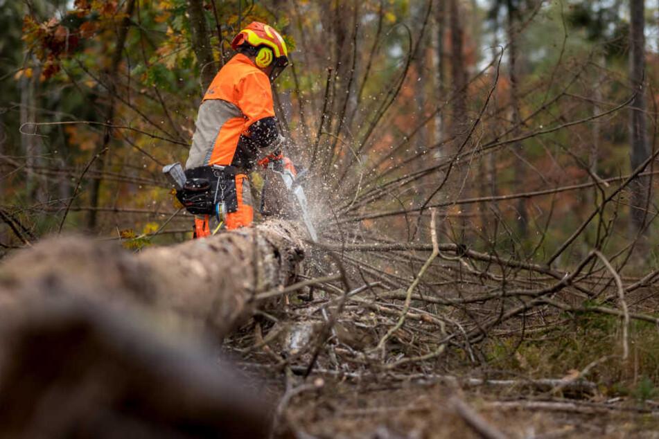 Kampf gegen den Borkenkäfer im Zeisigwald: Die SPD ist für schnellere Fällungen.